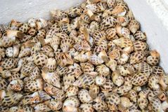 Conch. But also people like to eat seafood. They piled up together, very nice Stock Image