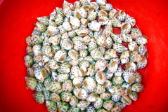 Conch. Shenzhen xixiang seafood market, just listed conch Royalty Free Stock Images
