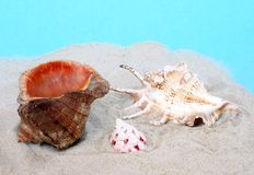 Conch Stock Image