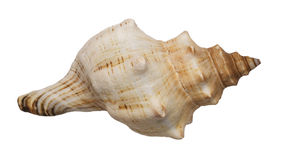Conch Stock Images