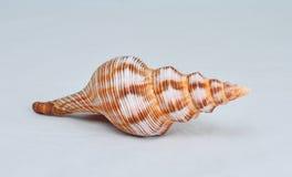 conch stock afbeeldingen