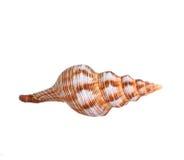 conch stock foto