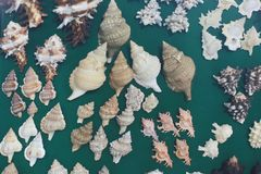 conch royalty-vrije stock afbeelding