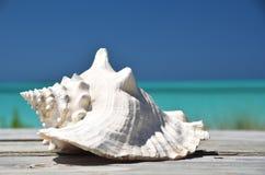 Conch against ocean. Exuma, Bahamas Stock Photo