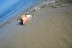 Conch on the Beach Stock Image