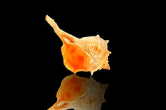 Conch on black with reflection. Stock Photo