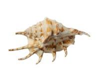 Conch do escudo do mar Fotografia de Stock Royalty Free