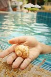 Conch in hand of woman at swimming pool. Stock Images