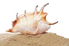 Conch i sanden Royaltyfri Bild
