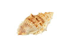 Conch isolated on white background Royalty Free Stock Photos
