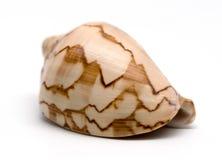 conch isolerad havswhite Fotografering för Bildbyråer