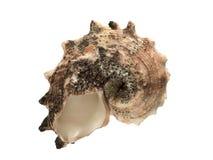 conch isolerad white Royaltyfri Foto