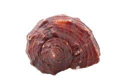 conch isolerat hav Royaltyfri Fotografi