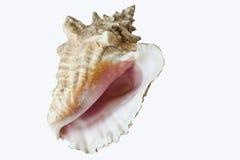 conch isolerat skal Fotografering för Bildbyråer