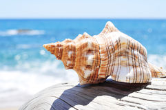 Conch on an old washed-out tree trunk in the beach. Closeup of a conch on an old washed-out tree trunk in the beach, with a bright blue sea in the background Royalty Free Stock Photos