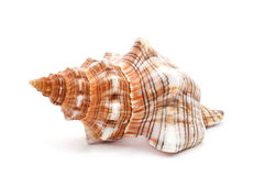 Free Conch On A White Background Stock Image - 55249041