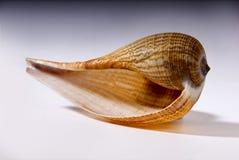 Conch Royaltyfri Fotografi