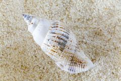 Conch on Sand Royalty Free Stock Photography