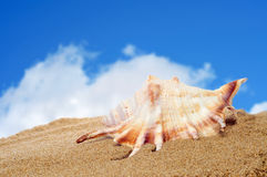 Conch on the sand Stock Photo