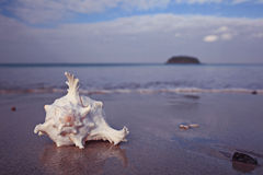 Conch on a sandy beach Royalty Free Stock Image