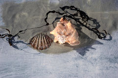 Conch and Scallop royalty free stock image