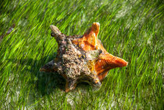 Conch in Sea Grass Close Royalty Free Stock Photography