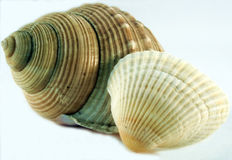 Conch of sea shell stock photography