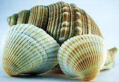 Conch of sea shell Royalty Free Stock Photo