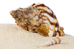 Conch sea shell Royalty Free Stock Photo