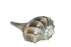 Conch sea shell. Conch isolated on white background Royalty Free Stock Photography