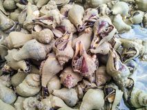 Conch sea snail Royalty Free Stock Photos