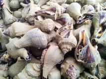 Conch sea snail Royalty Free Stock Image