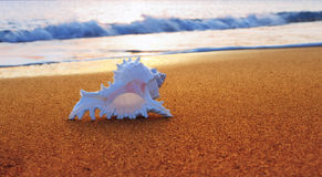 Conch Seashell on the Beach Stock Image