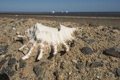 Conch seashell on side of road with sea in background Stock Photo