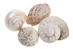 Conch Seashells. On White Background Stock Images