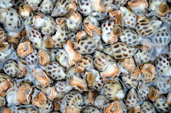 Conch sheel background Royalty Free Stock Image