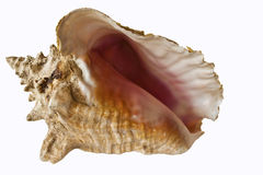 Conch Shell. Isolated on white background Stock Photos