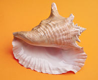 Conch Shell. On a vibrant orange background for ocean concepts Stock Image