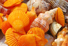 Conch shell and. A lot of conch shells and short-range close together Royalty Free Stock Images