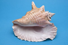 Conch Shell. On Vibrant blue Background Royalty Free Stock Photography