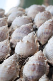 Conch shell. The Conch shell on beach Stock Images