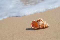 Conch shell. On beach with waves stock images