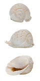 Conch Shell. White old exotic conch shell isolated on white background Royalty Free Stock Images
