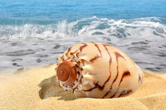 Conch shell. Tropical Conch shell on beach Stock Image