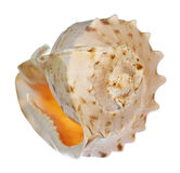 Conch shell. A lovely conch shell, isolated on white Stock Photography