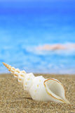 Conch shell. On the beach stock image