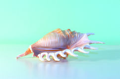 Free Conch Shell Stock Photos - 40764363