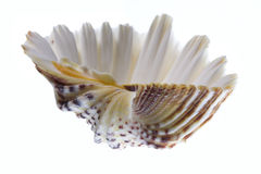 Conch Shell. On Isolated White Background Stock Images
