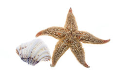 Conch Shell And Sea Star Royalty Free Stock Photos