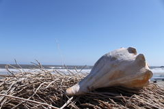 Conch Shell. Atop driftwood on the beach Stock Image